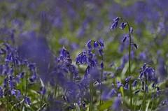 Du bleu, du bleu (Tormod Dalen) Tags: pentax pentaxart france normandie flower nature fleur