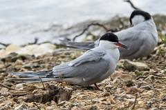 Common Tern Sterna hirundo (Barbara Evans 7) Tags: common tern sterna hirundo blashford lakes hants uk barb ara evans7