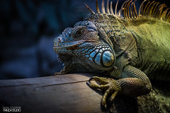 Iguane du zoo de Vincennes - 2019 (PandaStudio.fr) Tags: zoo animal animals animaux iguana canon canon80d canon100400 vincennes
