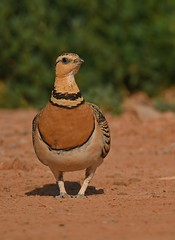 Ganga ibérica / Pin-tailed Sandgrouse (anacm.silva) Tags: gangaibérica pintailedsandgrouse ave bird wild wildlife nature natureza naturaleza birds aves sandgrouse belchite espanha spain cortiçoldebarrigabranca pteroclesalchata