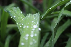 Dew (Nabel Grant) Tags: beauty green mothernature nature