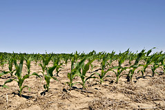 Young Corn Starting Its Growth (Throwingbull) Tags: corn agriculture farm farming field maryland eastern shore