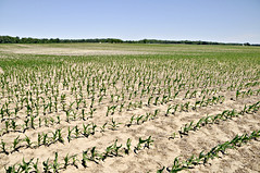 Acres of Corn (Throwingbull) Tags: corn agriculture farm farming field maryland eastern shore