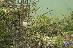 Woodchat Shrike (Martin F Hughes) Tags: martin hughes canon 7d mkii mk2 birds birdwatching birding wildlife polgigga cornwall woodchatshrike