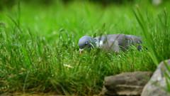 40 winks (chris_m03) Tags: pigeon asleep bird garden