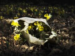 Narcisos en Craneo (enekopy) Tags: narciso craneo izki