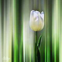 Spring Vision I (Monika Müthing) Tags: nature flowers petals tulip white green thenetherlands spring
