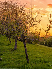 Sunset behind an orchard meadow (Steppenwolf33) Tags: orchard meadow sunset tree steppenwolf33 hill
