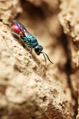 Chryside enflammée (Mariie76) Tags: animaux nature macro macrophotographie petit insecte hyménoptère guêpe coucou parasite chryside enflammée chrysis ignita commune colorée vert bleuté bleu rouge rosé