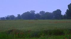 Colori di maggio (Aellevì) Tags: pianura campo campagna verde rosso spighe papaveri