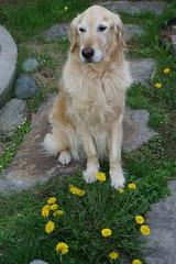 Sunny 21/52 (Lianne (calobs)) Tags: 52 weeks for dogs goldenretriever