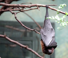 bat (geneward2) Tags: bat bird bronx zoo wings