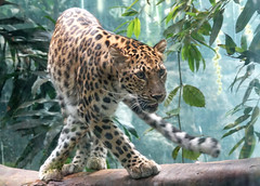 leopard (geneward2) Tags: leopard bronx zoo cat mammal nature predator