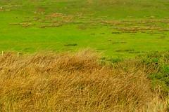 Dry grass, deep green grass, Point Reyes, Marin county sea shore DSC_0091 (wbaiv) Tags: point reyes seashore marin county coast west from inverness pacific ocean central california drygrass deepgreengrass dry grass deep green