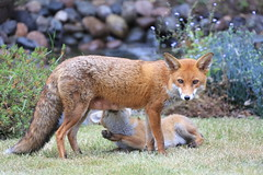 Fox and cub in our garden (John Linwood) Tags: fox cub garden surrey spring