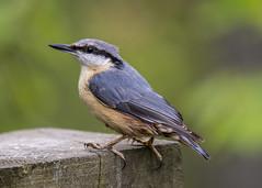 nuthatch (alderson.yvonne) Tags: bird nuthatch woodland uk england