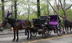 Central Park Carriages for Hire! (Anthony Mark Images) Tags: horseandcarriages centralpark romantic lovely beautiful horses carriagrs flowers trees manhattan newyork nyc bigapple purple pretty purplefeathers nikon d850 flickrclickx driver road people glasses hat gentleman colourpurple beautiulcarriage usa