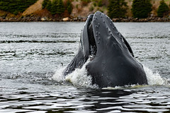 Herring for dinner - bubble net feeding (Dolores Harvey) Tags: whale herring herd army fish feeding humpbackwhale newfoundland wild wildlife mammal holyrood eating atlanticocean nose large feedingseason bubblenet out water sea ocean noseup tourism nltourism outdoors