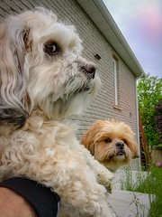 """Yo Ace, don't look now but I think Paul's taking our picture."" (PEEJ0E) Tags: mutt rescue dog tzu shih shihtzu maltese ace rusty"