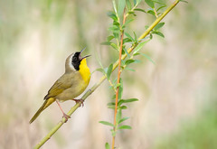 Full song! (rmikulec) Tags: common yellowthroat warbler bird birding nature animal sony a7riii wild wildlife ornithology spring migration