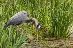 Itchy (NikonDigifan) Tags: greatblueheron birdwatching bird nature naturephotography naturesfinest wildlife wildlifephotography idaho pacificnorthwest nikond850 nikon nikon28300 mikegassphotography