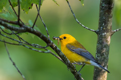 Morning Meal (rob.wallace) Tags: spring migration 2019 prothonotary warbler huntley meadows park alexandria va