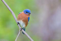 CA3I6727-Eastern Bluebird (tfells) Tags: easternbluebird bird thrush passerine songbird nature wildlife pennsylvania lancaster safeharbor sialiasialis