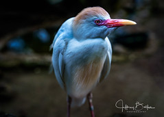 Cattle Egret- (Jeffrey Balfus (thx for 5,000,000 views)) Tags: a9 happyhollow sony2470gm sonyalpha sonya9 ilce9 fe2470mmf28gm sel2470gm topf25 thegalaxy