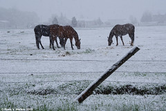 Spring Snow in the Neighborhood (walkerross42) Tags: spring snow horses storm montpelier idaho bearlakevalley corral pasture