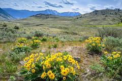 Balsamroot (Richard McGuire) Tags: bc britishcolumbia osoyoos southokanagan southokanagangrassland