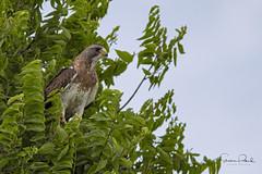 Swainson's Hawk (Stephen J Pollard (Loud Music Lover of Nature)) Tags: swainsonshawk aguililladeswainson birdofprey averapaz raptor avedepresa bird ave buteoswainsoni