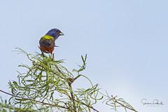 Painting Bunting (Stephen J Pollard (Loud Music Lover of Nature)) Tags: colorínsietecolores coloríndesietecolores paintedbunting passerinaciris bird ave