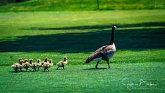 Charity Tournament-33436 (Jeffrey Balfus (thx for 5,000,000 views)) Tags: almaden shir golf sanjose ca us geese chicks
