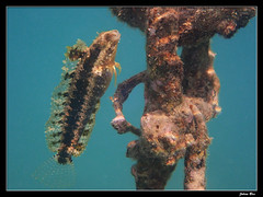 Kuendu Beach 26.05.2019 (CurLy98800) Tags: kuendu beach noumea nouvelle caledonie new caledonia diving snorkeling underwater poisson lagon plongée petroscirtes lupus blennie