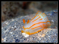 Kuendu Beach 26.05.2019 (CurLy98800) Tags: new beach underwater diving snorkeling poisson nouvelle caledonia plongée noumea caledonie lagon kuendu striatum nudibranche analogium limace