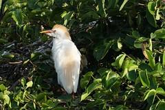 Cattle egret in Breeding Plumage (arielfischer) Tags: cattleegret kuhreiher bubulcusibis bubulcuscoromandus египетскаяцапля