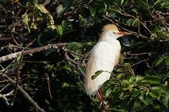 Cattle Egret in Breeding Plumage (arielfischer) Tags: cattleegret bubulcusibis bubulcuscoromandus kuhreiher египетскаяцапля