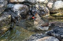 DSC_7502 (PaulPagéPhotos) Tags: femalecardinal birds avian wildlife nature ponds watergardens d500nikon