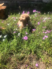 Ginger's Lady loves the flowers!
