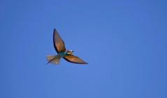 European Bee-eater (Merops apiaster) (Kremlken) Tags: moldovan birds birding birdwatching beeeaters meropsapiaster nikon500 birdsinflight