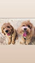 Gretta's Teddy with his best buddy Bentley!