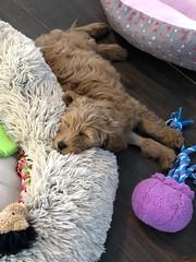 Ginger's adorable Nala!