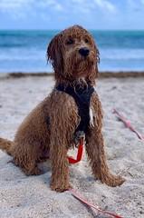 Kasey's Yogi is loving his beach day!
