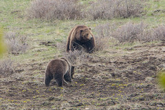 Courting grizzlies (ChicagoBob46) Tags: grizz grizzlybear bear sow boar yellowstone nature wildlife grizzly yellowstonenationalpark naturethroughthelens ngc coth5 npc