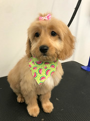 Kasey's Jesse after her first puppy pamper appt