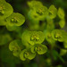 Wood Spurge (Euphorbia amygdaloides) - Upton Lakes, Cullompton, Devon - April 2019