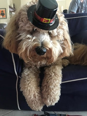 Roxie's little pilgrim!
