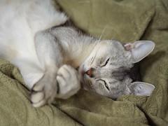 20190331_18_LR (enno7898) Tags: panasonic lumix lumixg9 dcg9 vario 35100mm f28 cat abyssinian pet