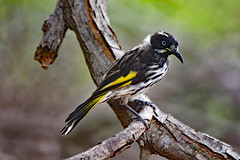 New Holland Honeyeater (Uhlenhorst) Tags: 2012 australia australien animals tiere birds vögel travel reisen coth ngc npc