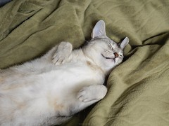 20190331_01_LR (enno7898) Tags: panasonic lumix lumixg9 dcg9 vario 35100mm f28 cat abyssinian pet